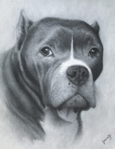 Charcoal drawing of pitbull dog