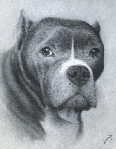 Charcoal drawing of pitbull dog